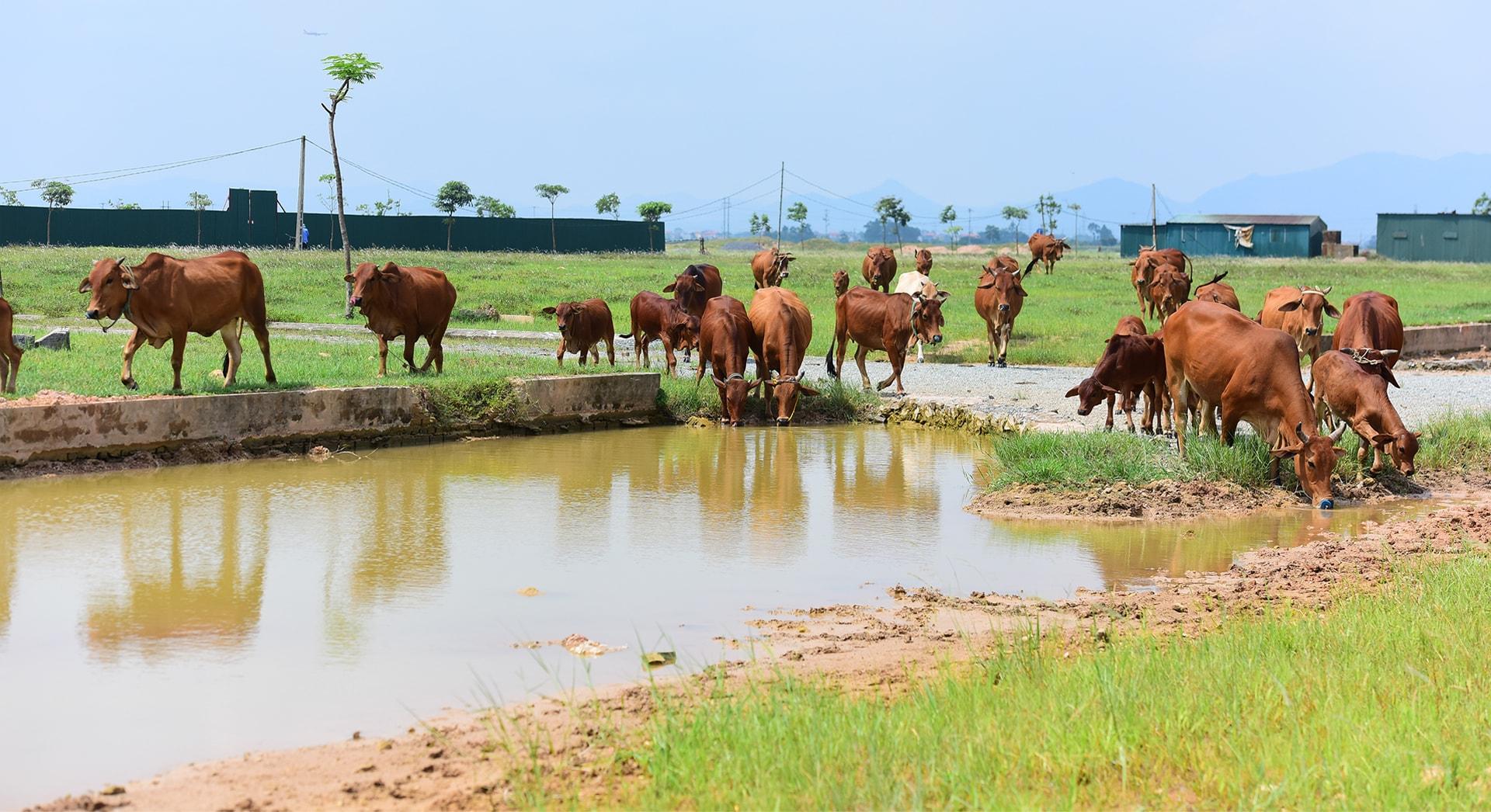 Đàn bò được chăn thả trên mảnh đất được quy hoạch là 'khu đô thị mới'