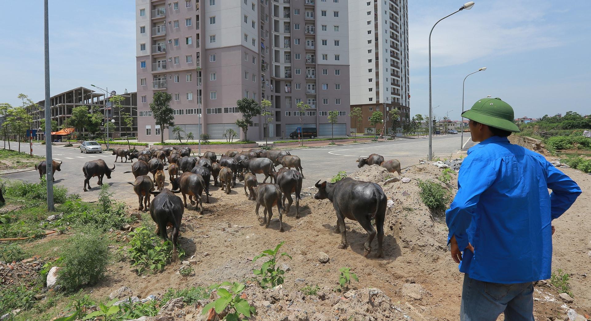 Khung cảnh của những quy hoạch dở dang tại Yên Nghĩa, và đàn trâu của Thiện